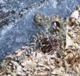 Rattlesnake on Spaulding Lake Trail