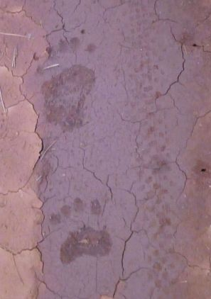 bear vs. Chupacabra tracks