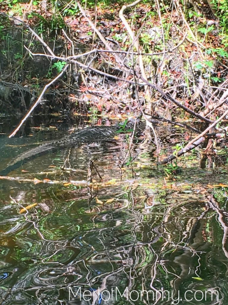 Adventure Kissimmee for Adults: Alligator