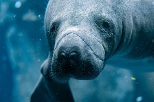 Manatee-Close-Up