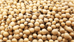 Soy-Beans, Bhatamas