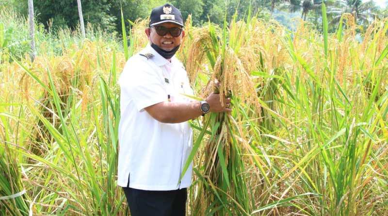 Wabup Lutfi Halide Panen Padi Ladang, Hingga Melihat Burung Tekukur di Desa Soga Soppeng