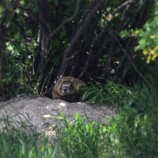 rock chuck peeking out of its hole