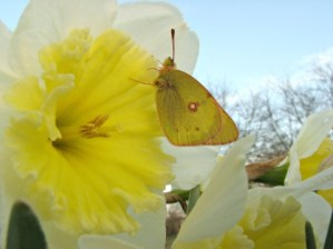 green, spotted butterfly resting on a large white and yellow daffodil