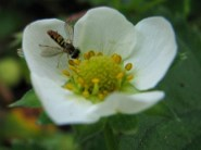 hover fly on strawberry bloom in the garden