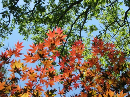 looking up at colorful spring leaves of a japanese maple and an oak