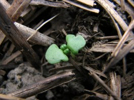 sweet basil seedling sprouting through the hay mulch in the garden