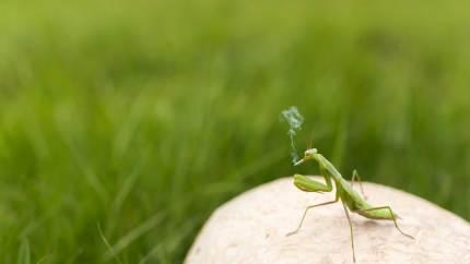 smokin mantis