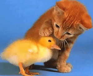 kitty+duckling