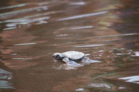 the tiny hatchlings making their way to the sea...