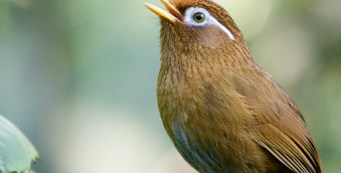 Chinese Hwamei, or the Melodic Laughingthrush