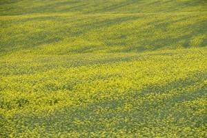 yellow field KB