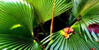 Palm Fact of the Week: The Spear Leaf