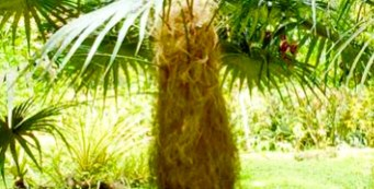 "Palm Fact of the Week: Coccothrinax crinita or ""Old Man Palm"""