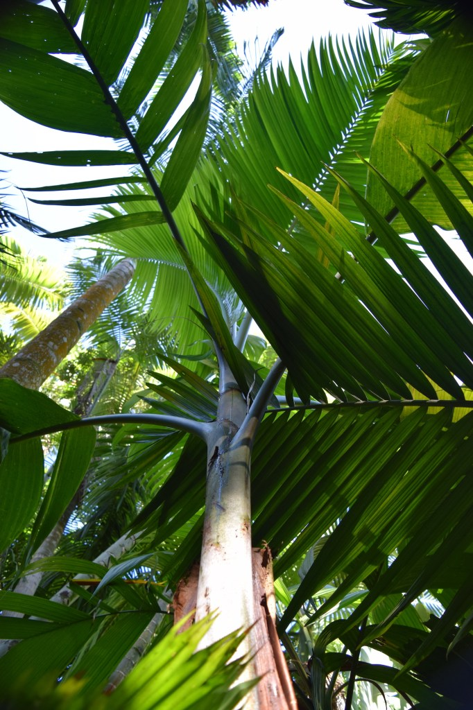 Bentinckia nicobarica canopy