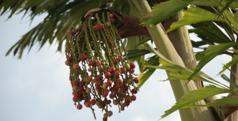 Palm of the Week: Caryota urens, or the Fishtail Wine Palm