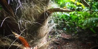 Palm of the Week: Trachycarpus fortunei
