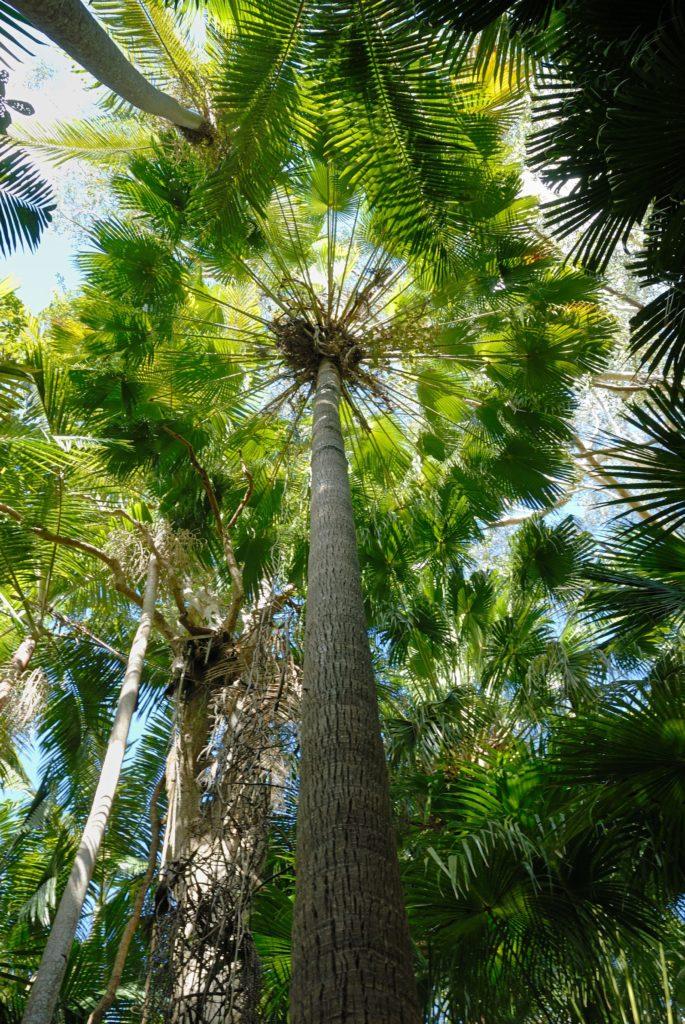 Livistona australis by Ed Vaile