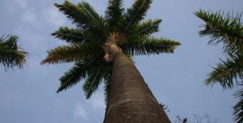 Featured Palm: Roystonea oleracea