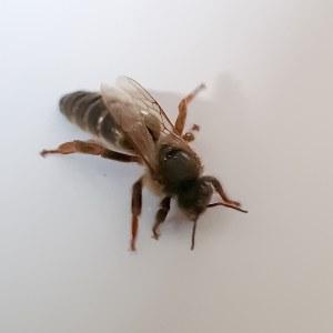 Reine d'abeille noire de normandie