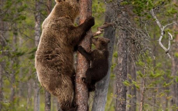 71 de apeluri care semnalau prezenţa urşilor în zone locuite, primite la 112 în ultimul an