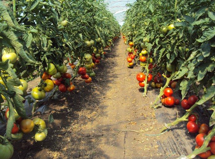 Ministrul Agriculturii anunţă un ajutor de minimis de 2.000 de euro pentru legumicultorii care cultivă ardei, castraveţi, tomate, varză şi vinete