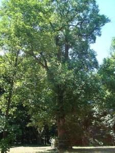 arborele lalea