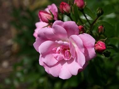 Rosier arbuste rose - juin 2015 - Photo Marie-Sophie Bock-Digne (Kazamarie)