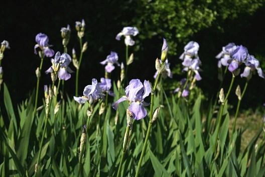 Iris des jardins - Photo MS Bock-Digne 01/05/2016
