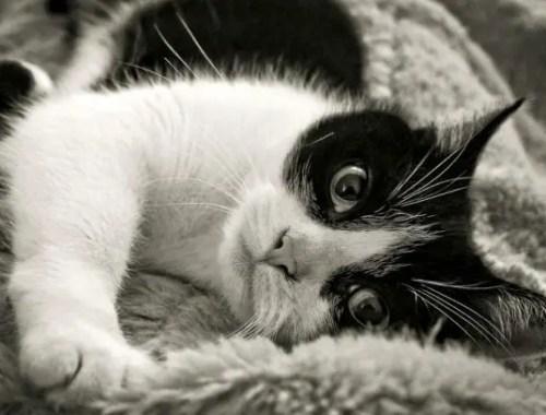 Le Niksen ou l'art des chats