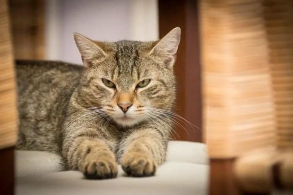 Le Niksen inspiré par les chats