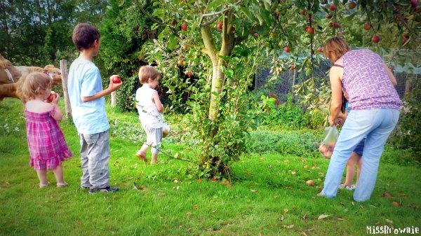 cueillette-des-pommes