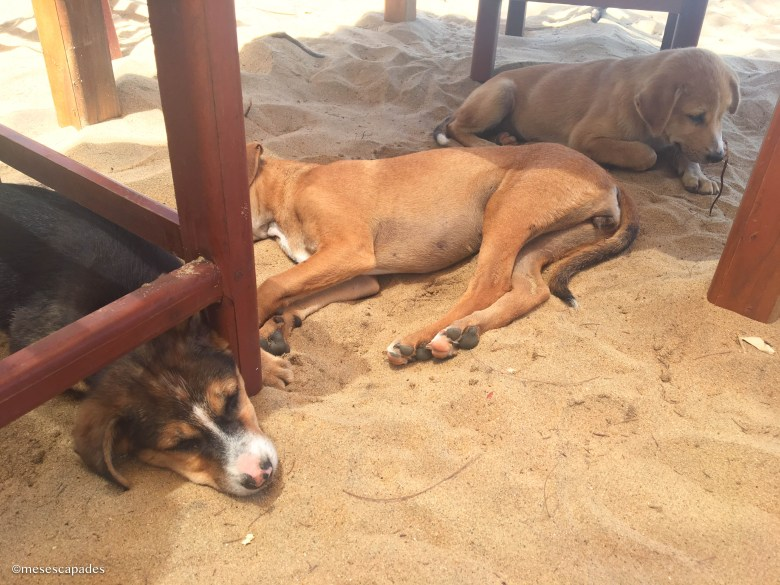 Les chiens sri lankais
