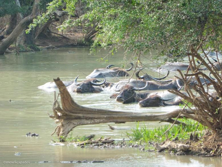 Où voir des buffles au Sri Lanka ?