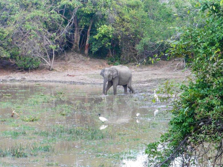 Rencontre avec les éléphants d'Arugam Bay