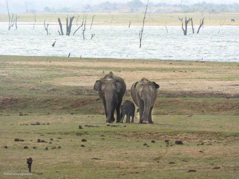 Où voir des éléphants au Sri Lanka