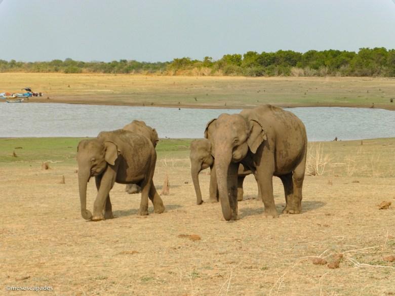 Où voir des éléphants au Sri Lanka ?