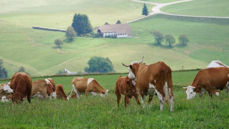 Sur la colline de Schauinsland, on peut se balader dans des prés où on trouve quelques troupeaux de vaches.