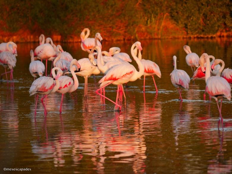 Les flamants roses au coucher du soleil en Camargue