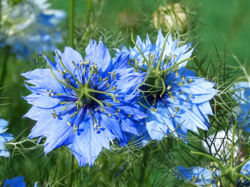 kalonjig-oil-nigella-flower