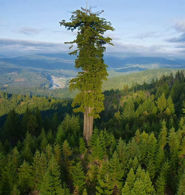 This is the tallest tree in the world