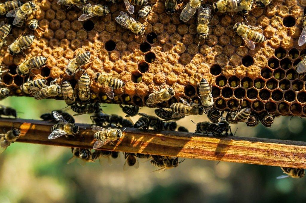 Des abeilles sur un cadre de ruche