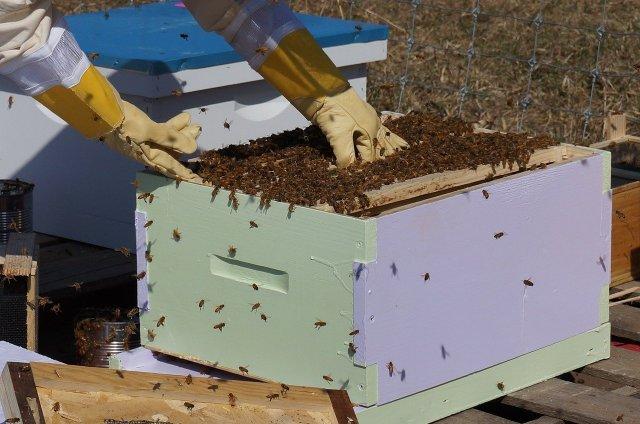 Apiculteur mains dans la ruche