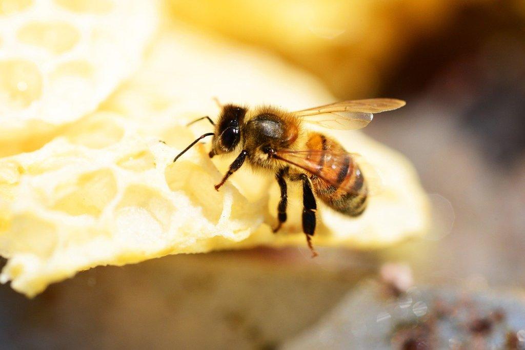 Abeille Buckfast. Une sous espèce d'abeilles