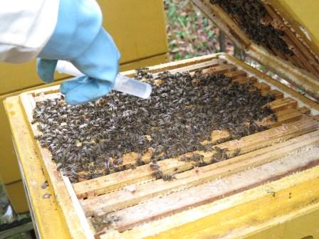 varroa acide oxalique
