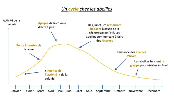 Cycle abeilles