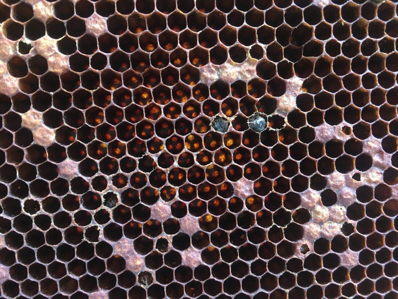 Ruche morte: Les 3 indices très faciles pour voir les traces du varroa