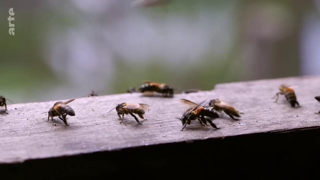 abeilles géante