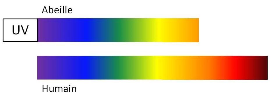 couleurs abeille