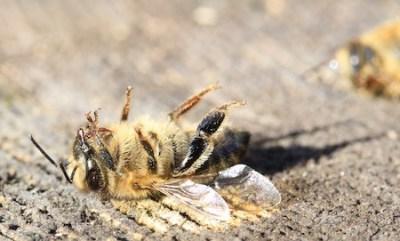La science étudie les abeilles mortes